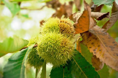 Chestnut fruit on the tree. Castanea sativa royalty free stock images