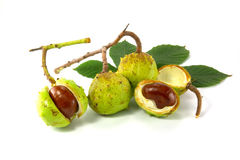 Chestnut. Fruit is on a white background stock image