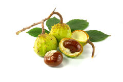 Chestnut. Fruit is on a white background royalty free stock images