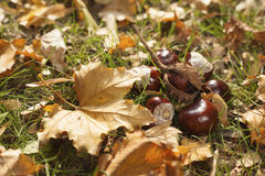 Chestnut fruits. And leafs layed on green grass Royalty Free Stock Photos