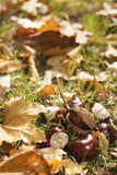 Chestnut fruits. And leafs layed on green grass at autumn Stock Photos