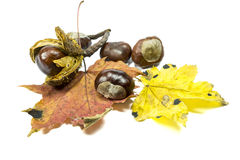 Chestnut fruits with two leaves Stock Photo