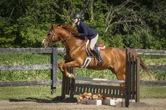 Chestnut in full bridle jumps a ladder fence Stock Photography