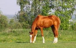 Chestnut golden horse Royalty Free Stock Photos