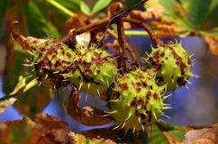 Chestnut. Green Chestnut fruit with leaves on the tree royalty free stock photography