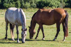 Chestnut and grey horse grazing on summertime pasture Royalty Free Stock Photography