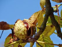 Chestnut. Hanging on a tree in autumn Stock Images