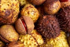 Chestnut harvest Stock Image