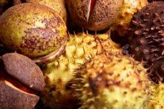 Chestnut harvest Stock Photo