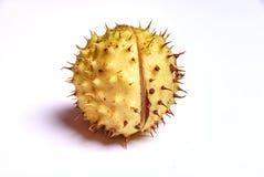 Chestnut harvest Royalty Free Stock Photo