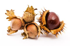 Chestnut and hazelnut. A chestnut and a hazelnut isolated on white Stock Photos