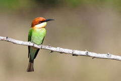 Chestnut Headed Bee Eater Royalty Free Stock Photography