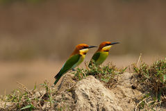 Chestnut-headed bee-eater Royalty Free Stock Images