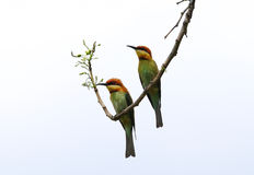 Chestnut headed bee eater Stock Images