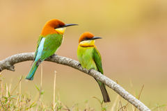 Chestnut-headed Bee-eater. Beautiful couple of Chestnut-headed Bee-eater (Merops leschenaulti stock image