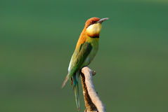 Chestnut headed bee eater Royalty Free Stock Images