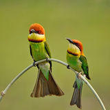 Chestnut-headed Bee-eater Royalty Free Stock Photos