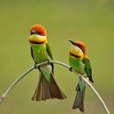 Chestnut-headed Bee-eater Royalty Free Stock Photos