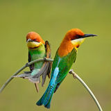 Chestnut-headed Bee-eater Royalty Free Stock Photo