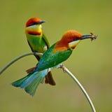 Chestnut-headed Bee-eater Stock Photos