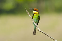 Chestnut-headed Bee-eater, Bird Royalty Free Stock Image