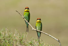 Chestnut-headed Bee-eater, Bird Stock Images