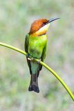 Chestnut-headed Bee-eater, Bird Royalty Free Stock Photo
