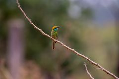 Chestnut-headed bee-eater. Bird nature birder wildlife stock photography