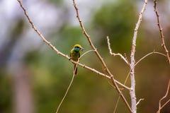 Chestnut-headed bee-eater. Bird nature birder wildlife royalty free stock photo