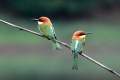 Chestnut-headed Bee-eater Bird Royalty Free Stock Image
