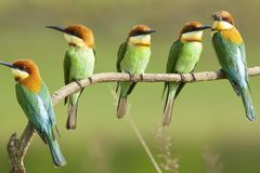 Chestnut-headed bee-eater breeding. The chestnut-headed bee-eater Merops leschenaulti, or bay-headed bee-eater, is a near passerine bird in the bee-eater family stock photography