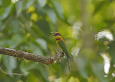 Chestnut-Headed Bee-eater Stock Photography
