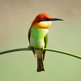 Chestnut-headed Bee-eater Stock Images