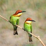 Chestnut-headed Bee-eater Stock Photo