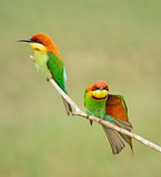 Chestnut-headed Bee-eater Royalty Free Stock Image