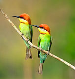 Chestnut-headed Bee-eater Stock Image