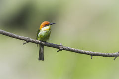Chestnut-headed bee-eater in Ella, Sri Lanka Stock Photos