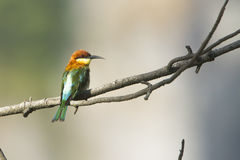 Chestnut-headed bee-eater in Ella, Sri Lanka Royalty Free Stock Photo
