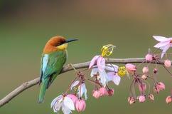 Chestnut-headed Bee-eater or Merops leschenaulti. stock photo