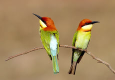 Chestnut headed Bee eater Merops leschenaulti Royalty Free Stock Image