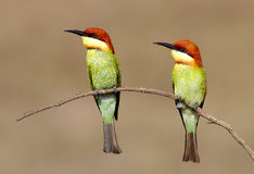 Chestnut headed Bee eater Merops leschenaulti Royalty Free Stock Photos