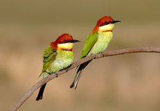 Chestnut headed Bee eater Merops leschenaulti Stock Photography