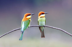 Chestnut headed Bee eater Merops leschenaulti Stock Image