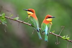 Chestnut-headed Bee-eater - Merops leschenaulti. Beautiful colorful bee-eater from Sri Lankan woodlands and bushes royalty free stock images