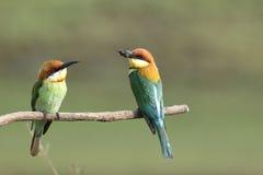 Chestnut-headed Bee-eater, Merops leschenaulti. stock photo