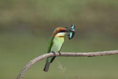 Chestnut-headed Bee-eater, Merops leschenaulti. royalty free stock images