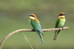 Chestnut-headed Bee-eater, Merops leschenaulti. stock images