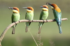 Chestnut-headed Bee-eater, Merops leschenaulti. stock image