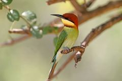 The chestnut-headed bee-eater Merops leschenaulti royalty free stock photography