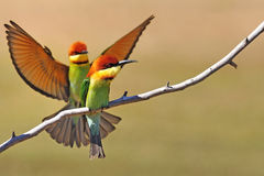 Chestnut-headed Bee-eater (Merops leschenaulti) Stock Images